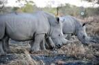 rhinos_MCM_3618-840x558